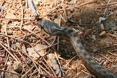 Girondine en PACA !-) (Pi-F) Tags: serpent animal sauvage espèce protégé couleuvre coronellegirondine provence paca france région