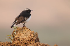 Variable Wheatear (Jawad_Ahmad) Tags: naturephotographer nature naturelover beautyofnature birds birdwatcher birdsphotographer wildlifephotography wildbird flicker canon colors jawadsphotography sialkot pakistan