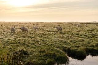 Frühaufsteher-Schafe