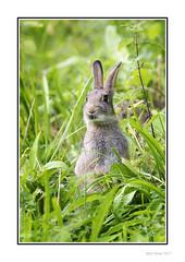 Hare (Seven_Wishes) Tags: newcastleupontyne claravale canoneos5dmarkiv canonef100400mmf4556lisii jo outdoor photoborder wildlife nature naturalworld hare rabbit vegetation foliage grass leaves green animal environment habitat pipkins