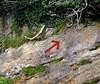 Dermatocarpon miniatum - habitat (davidgenneygroups) Tags: lichen uk scotland dermatocarponminiatum dermatocarpon miniatum foliose saxicolous