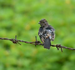 Pied Bushchat-Male (Venugopal Bsnl) Tags: googleimages images serilingampally venugopalbsnl piedbushchat best