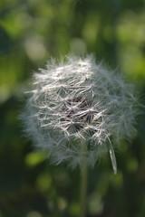 Ob(b)iettivo vecchio. (SimonaPolp) Tags: dandelion light sun sunlight spring nature green morning field macro macronature macroflower 24042013