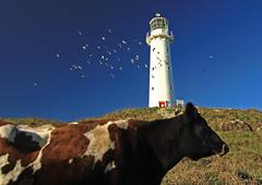 Lite Milk (jimjiraffe*) Tags: cow milk lite litemilk light capeegmont egmont taranaki pungarehu rahotu canon tokina1224 jimjiraffe photobomb