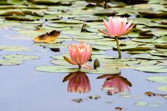 SX171251 (Daegeon Shin) Tags: fujifilm xpro2 fujinon xf55200 55200 waterlily nenúfar water agua reflection reflejo flower flor 후지 후지논 수련 꽃 물 반영 연못 pond estanque