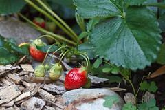 196/365 strawberries