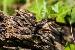 just a bunch of lizards (Cecilia Adolfsson) Tags: ödla skogsödla lizard zootoca vivipara zootocavivipara rörum sweden skåne österlen tamron tamronsp150600mmf563divcusdg2 150600mm canon6d canon animal wild