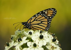 Welcome Autumn! (NaturewithMar) Tags: monarch butterfly insect flower flor macro autumn 2017 nikoncoolpix b700