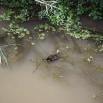 Un #juvenil de #gallineta común o polla de agua (#Gallinula chloropus) #polladeagua #aves #birds #pajaros #birdsofinstagrams #gruiformes #rallidae #moorthen #elprat #elpratdellobregat #rio #river #avesacuaticas thumbnail