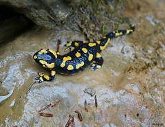 La salamandre (Missfujii) Tags: salamandre bestiole lézard faune nature