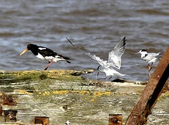 The End of the Pier show 24.8 (ericy202) Tags: commonterns oyestercatcher oldjetty snettishamrspb