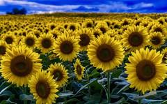 Sunflowers at Dusk ((Jessica)) Tags: petals colbyfarm massachusetts newengland newburyport sunflowers sunflowerfield flowers