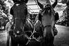 horse (mariedicharry) Tags: horse portrait face cheveaux calèche animal