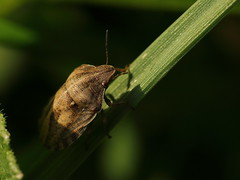 EOS 7D Mark II_052759 (gertjan.kamsteeg) Tags: animal invertebrate bug truebug heteroptera heteropteran insect eurygastertestudinaria scutelleridae tortoise tortoisebug macro