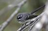 Grey Fantail (iansand) Tags: rhipiduraalbiscapa warriewood bird