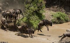 Wildebeest Jumping High into Mara River (John Hallam Images) Tags: wildebeest jump high marta river marariver masai mara
