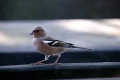 Testen des Sigma18-300 (bo-joerg) Tags: bergerhof nrw tiere vogel buchfink