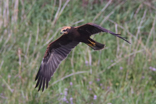 Juvenile Marsh Harrier