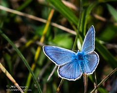 Male Common Blue-Polyommatus icarus-2217 (George Vittman) Tags: insect items commonblue butterfly polyommatusicarus nature wildlife macro jav61photography jav61 photography