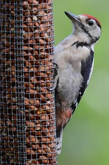 Great-spotted Woodpecker (juv) (Brian Carruthers-Dublin-Eire) Tags: woodpeckers picidae dendrocopos major great spotted woodpecker pic epeiche buntspecht carpintero picapinos grote bonte specht mórchnagaire breac piciformes bird animalia animal dendrocoposmajor greatspottedwoodpecker picepeiche carpinteropicapinos grotebontespecht wildlife people