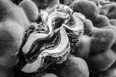 Giant clam (saavedl) Tags: lx5 redsea dive underwater bw bn blackandwhite monochrome marinelife animals
