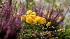 ein kreativer Balkonkasten (p.schmal) Tags: olympuspenepl7 hamburg farmsenberne lavendel gelbeblumen