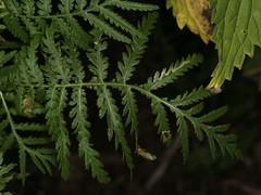 Tanacetum vulgare (dhobern) Tags: 2017 august denmark europe søborg utterslevmose asterales asteraceae tanacetumvulgare