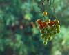 My name is Trixi said the tomato. (yellowgreywolf) Tags: tomato mygarden dirtywindow yellowgreywolf harvest