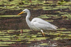 Intermediate Egret (gecko47) Tags: bird heron waterbird wader egret intermediateegret breedingplumage hunting pond sandycamproadwetland lytton brisbane ardeaintermedia