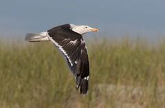 Great Black-backed gull IF Nickerson beach ny (mandokid1) Tags: canon ef400mmdoii birds gulls nickerson