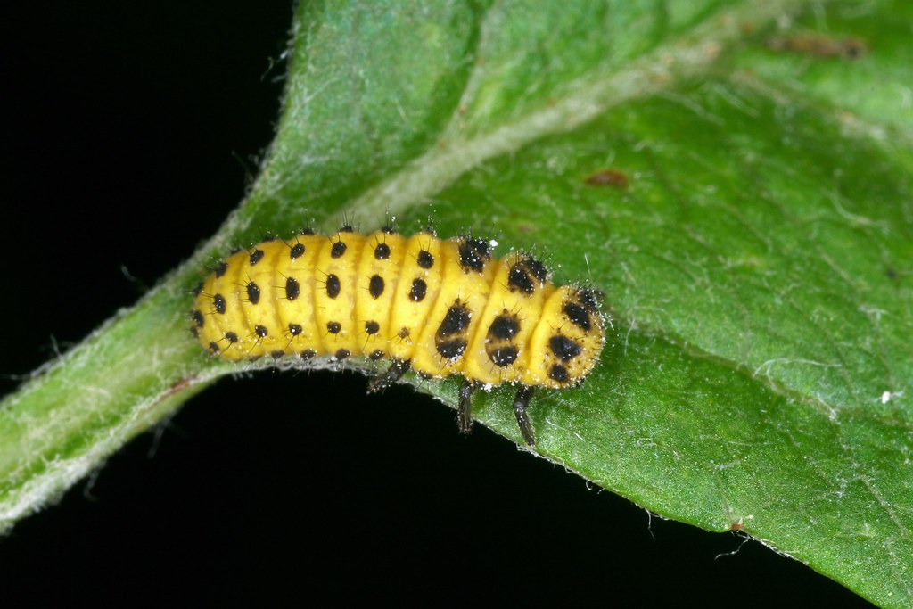 The world 39 s most recently posted photos of coleoptera and larve flickr hive mind - Larve de coccinelle ...