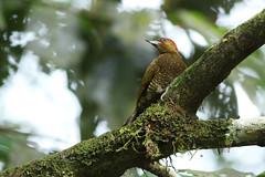 Rufous-winged Woodpecker (Piculus simplex) (Scott Olmstead) Tags: nature naturaleza tropical birds aves pájaros passaros carpintero picapau picidae
