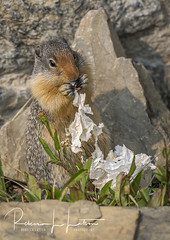 Please Don't Litter In Our National Parks (rebeccalatsonphotography) Tags: squirrel litter trash tissue discardedtissue wildlife animal eating munching loganpass np national parkglacier parkglacierrebeccalatsonphotographyrebecca latson photography canon 1dx 100400mm telephoto montana