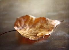 .. About  Fall Season ... (MargoLuc) Tags: leaf autumn beginning golden season natural soft light window droplet reflection stilllife