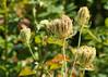 Aug 14: Late Summer Forest Flora (johan.pipet) Tags: flickr flora nature kvety bodliaky sunny summer flower plant leto august detail macro bokeh devin devín bratislava eu europe palo bartos bartoš canon