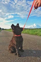 Totoro in training 💪🐶👍 (Jos Mecklenfeld) Tags: totoro dutchshepherd dutchshepherddog shepherddog shepherd hollandseherder hollandseherdershond herdershond herder dog hond hund sonyxperiaz5 xperia