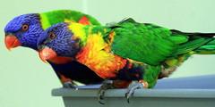 Perroquets potes (Christian Chene Tahiti) Tags: canon 7d zoo auckland zoodauckland faune animal aucklandzoo nz travel voyage nouvellezélande newzealand nature perroquet parrot color couleur bleu orange vert oiseau ami pote
