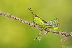 Chillaxing (Vie Lipowski) Tags: shorthornedgrasshopper grasshopper insect bug green young garden backyard weed chillax wildlife nature macro