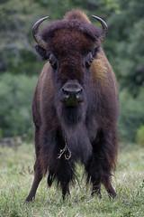 Survivor (ucumari photography) Tags: ucumariphotography bison animal mammal nc north carolina zoo september 2017 ungulate bisonbison dsc4063 specanimal