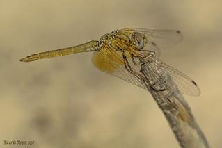 Trithemis kirbyi. Macho joven. Young male.