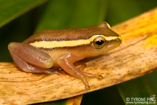 Hyperolius pickersgilli  - Pickersgil's Reed Frog.