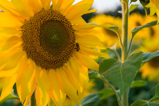 Another Field of Sunflowers