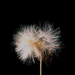 dandelion... (Marcilia Bevitori) Tags: wildflowers jardim garden awesome marciliabevitori minasgerais brasilemimagens ngc iphone iphonese beauty dandelions