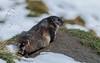 Wie ist das Wetter heute? Schnee, oje. (cfowallburg) Tags: österreich nationalparkhohentauern murmeltier