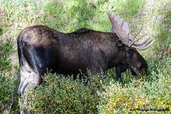 Bull Moose (RJ Thomas Photography) Tags: d850 nikon malignelakeroad jasper