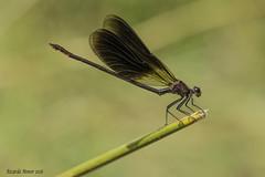 Calopteryx haemorrhoidalis. Macho adulto. Male adult (Ricardo Menor) Tags: calopteryxhaemorrhoidalis laumbría16 río chícamo macho machoadulto captáforo odonatos zygópteros male ríochicamo agosto2016