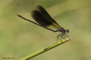 Calopteryx haemorrhoidalis. Macho adulto. Male adult