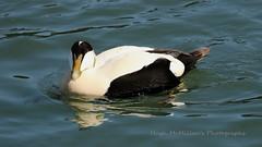 Photo of Eider Duck, at Crail, Fife, Scotland.