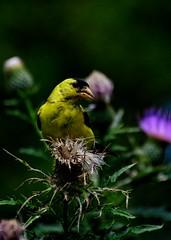 Evening Goldfinch (i m. ritz) Tags: lowlight evening flower bird highiso thistle goldfinch