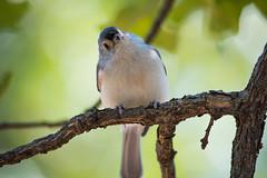 Tufted Titmouse (sethjschubert) Tags: bird tuftedtitmouse nature wildlife animal baeolophusbicolor wichitamountainswildliferefuge indiahoma oklahoma unitedstates us